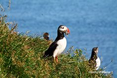 Puffin Colony - 10 gorgeous places in Iceland that should not be missed