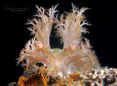 Marionia sp. | por Randi Ang