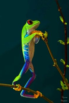 earthlynation:  red-eyed tree frog  source