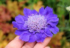 Scabiosa caucasica 'Fama Blue' | Flickr - Photo Sharing!