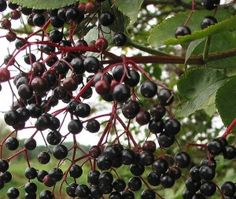 Black Elderberry As Medicine – How To Make Your Own Elderberry Syrup