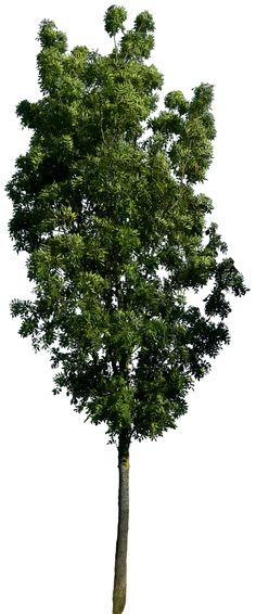 Tree 57 png HQ by gd08.deviantart.com on @deviantART