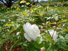 1 Picture 1 Word Rose Story White perspective
