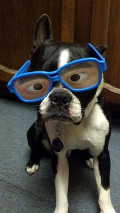 Boston Terrier Nerd