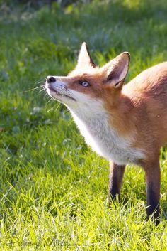 Attentive british wildlife fox cub