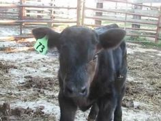 Happy times with a newborn calf.  What I look forward to every Spring!