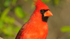 Macaulay Library Curator, Greg Budney, talks about the brilliant song of the Northern Cardinal. Learn more about the Northern Cardinal on All About Birds: ht...