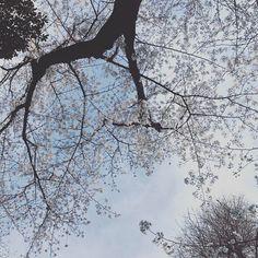七分咲きかなあ今日は友人たちとピクニック #sakura #cherryblossom #ayase #tokyo #桜
