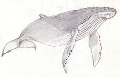 Humpback Whale Coloring Pages | Humpback Whale by Parabuteo78 on deviantART