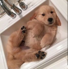 Golden Retriever, Puppy, Dogs, adorable, cute /@riddhisinghal6
