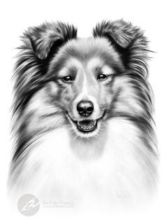 """Kira"" - sheltie graphite pencil drawing by Kerli Toode 