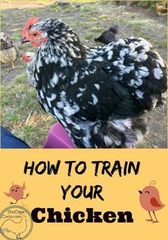 How to Train Your Chicken - The Cape Coop
