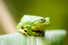 Chitrid fungus casuing frog species to disappear world-wide.