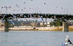 نوارس دجله   Tigris River and gulls - Baghdad