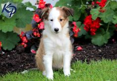 Keystone Puppies has a puppy finder feature setting you up to find and buy a dog perfect for your home. Welsh Sheepdog, Shetland Sheepdog Puppies, Sheltie Puppies For Sale, Puppy Finder, Buy A Dog, Herding Dogs, Blue Merle, Husky, Corgi