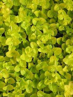 "Creeping Jenny, Lysimachia nummularia: ""Moneywort"" With some plants there is a fine line between friend and foe and lots of ground covers, by their very na Outdoor Flowers, Outdoor Plants, Growing Flowers, Planting Flowers, Creeping Jenny Plant, Ground Cover Plants Shade, Indoor Plants Names, Magnolia Gardens, House Plant Care"