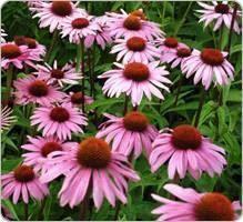 VIVACE fleur Echinacea Pourpre Bravado 40 graines de fleurs