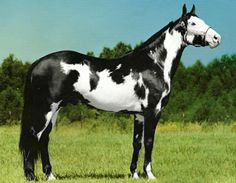 Frame and sabino Paint stallion, Captain Midnight.