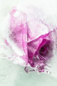 Purple Rose in Ice - I've been experimenting a bit more with photographing flowers in ice blocks. It's tricky business. This has a high key feel to it that I particularly like. #macro #flower #rose #floral #ice #frozen