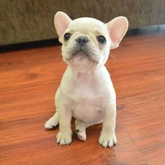 'Baby Bubbles', the French Bulldog Puppy.