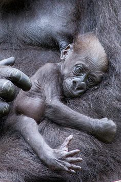 Gorilla, baby on mothers chest