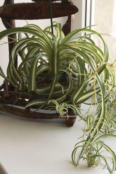 Le chlorophytum : Plante d'intérieur : à chaque pièce de la maison, sa variété - Journal des Femmes Green Plants, Air Plants, Indoor Plants, Chlorophytum, Plantar, Plantation, Garden Spaces, Horticulture, Garden Landscaping
