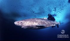 Some of the Greenland sharks living today might have been born before the Mayflower set sail for the New World.