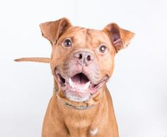 10/16/16 Shadow is an adoptable Pit Bull Terrier searching for a forever family near Decatur, GA. Use Petfinder to find adoptable pets in your area.