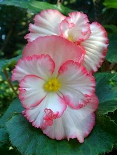 White Picotee Begonia- now that's a begonia I could like. Most don't have this much character.