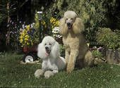Beautiful poodles
