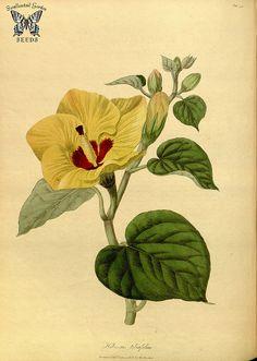 Hibiscus tiliaceus (as Hibiscus tiliifolius) Hooker, W., Salisbury, R.A., The paradisus  Londinensis (1805) [W. Hooker]