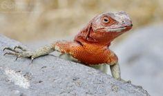 Lava Lizard in Galapagos - http://www.happyingalapagos.com/lava-lizard-galapagos/