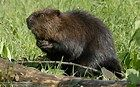 North American beaver - Bing