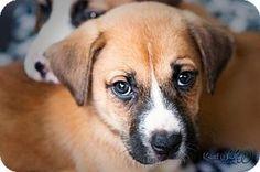 Woodinville, WA - Boxer/Husky Mix. Meet Samantha, a puppy for adoption. http://www.adoptapet.com/pet/14240326-woodinville-washington-boxer-mix