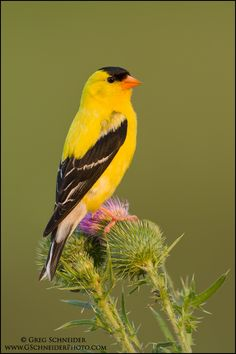 American Goldfinch (male) on thistles at last light