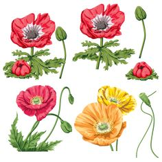 Botanical Illustration, Poppies, Flowers, Plants, Image, Design, Flower Paintings, Yandex, Illustrations
