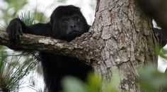 Nothing you've read quite prepares you for the adventure of hearing Belize's Black Howler Monkeys for the first time; you just have to experience it!