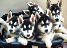 Love my Huskie boy! These pups remind me of his puppyhood...
