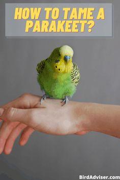Budgie Parakeet, Parakeets, Budgie Food, Homemade Bird Toys, Funny Parrots, Conure, Bird Cage, Pet Birds, Pets