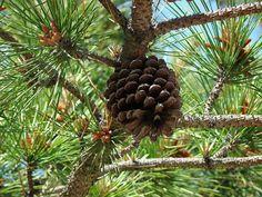 Las plantas y sus usos: Beneficios del pino para la salud