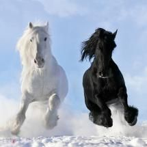 Black and White in the Snow ~ Photo by...Vikarus.