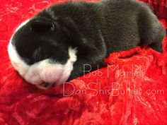 Sweet dreams baby Bob Marley   DanShisBullies.com  1st pick boy, 2nd pick boy, and 3rd pick boy from litter are reserved. 1 boy and 2 girls available. Picks of litter are usually chosen by the time they are 6 weeks old. 3 puppies will then be available. We are accepting reservation fees for the available puppies.  If you're interested in any of our puppies, you can visit our site to see pictures, pedigree, puppy package, mom's health testing, Puppy/Adult Adoption application and more on our…