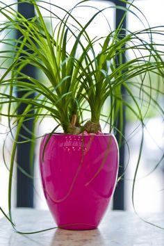 Hot Pink reception deskbowl Newbury, planted with Beaucarnea Nolina