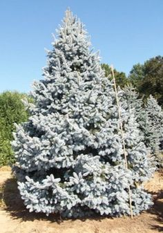Picea pungens 'Hoopsii':  Deer Resistant  This superb, stately tree is the most eye-catching of the Colorado Blue Spruce cultivars.  Its long, thick, bright silver-blue needles have earned it the reputation as an exceptional specimen tree, with a full, pyramidal form. Evergreen Garden, Evergreen Trees, Spruce Tree, Blue Spruce, Privacy Landscaping, Garden Landscaping, Fur Tree, Deer Resistant Plants, Specimen Trees