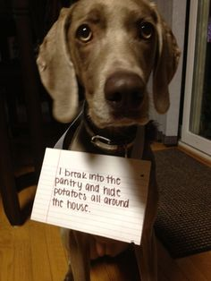 "Dog Shaming - ""I broke into the pantry and hide potatoes around the house."" #dogs #pets #canine #dogshaming"