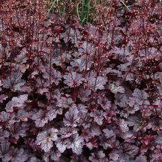 Heuchera 'Plum Pudding' for a useful edging/filler while shrubs grow. Semi-evergreen, OK in partial shade. Silver dusted, deep purple leaves