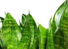 Obat Herbal dari Lidah Mertua Foot Massage, Cactus Plants, Watermelon, Fruit, Cacti, Cactus
