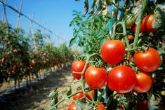 Doing some organic gardening is ideal and these tomatoes gardening tips are some of the best you will come across. Growing tomatoes in pots is ideal if you are suffering from limited garden space. Potato Vine Plant, Potato Vines, Tips For Growing Tomatoes, Growing Tomatoes In Containers, Grow Tomatoes, Cherry Tomatoes, Tomato Garden, Tomato Plants, Garden Tomatoes