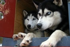 Siberian huskies are known for their wolfish good looks, but deep down, they're all dog.