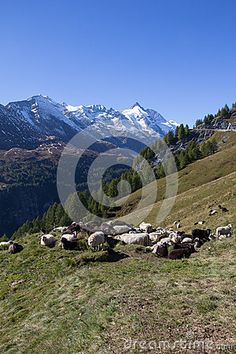 #Herd Of #Sheep Infront Of #Grossglockner #Highest #Mountain In #Austria 3.798m @dreamstime #dreamstime #nature #landscape #travel #holidays #mountains #alps #outdoor #hiking #season #vacation #sightseeing #leisure #panorama #bluesky #summer #autumn #fall #trees #wonderful #colorful #beautiful #stock #photo #portfolio #download #hires #royaltyfree